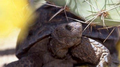 Want a tortoise? Several that can't live in the wild available for adoption
