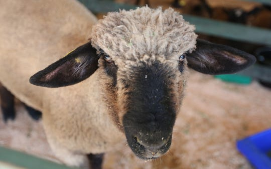 Marion County Lamb and Wool Show will be 8 a.m. to 3 p.m. June 1 in Turner.