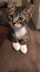 Miley is a 10 week old kitten ready for adoption.