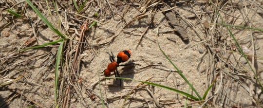 Velvet ants, sometime known as cow killers, are active now. They lead a solitary life in search of food except during mating season. This wingless wasp is a native of the Big Bend region, and like all wasp, will deliver a painful sting.