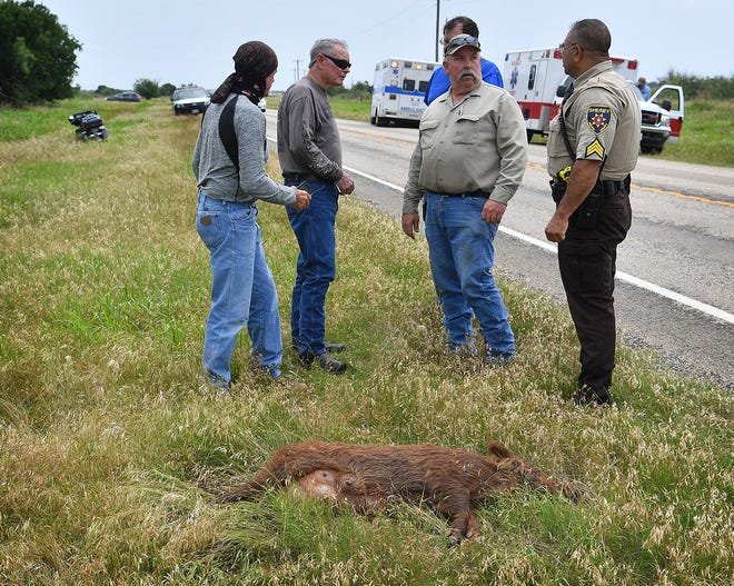 A motorcyclist received non-life-threatening injuries when his Harley-Davidson struck a feral hog crossing Highway 25 near Kamay Friday afternoon.
