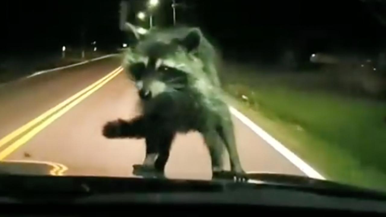 Car-surfing raccoon scares the daylights out of driver