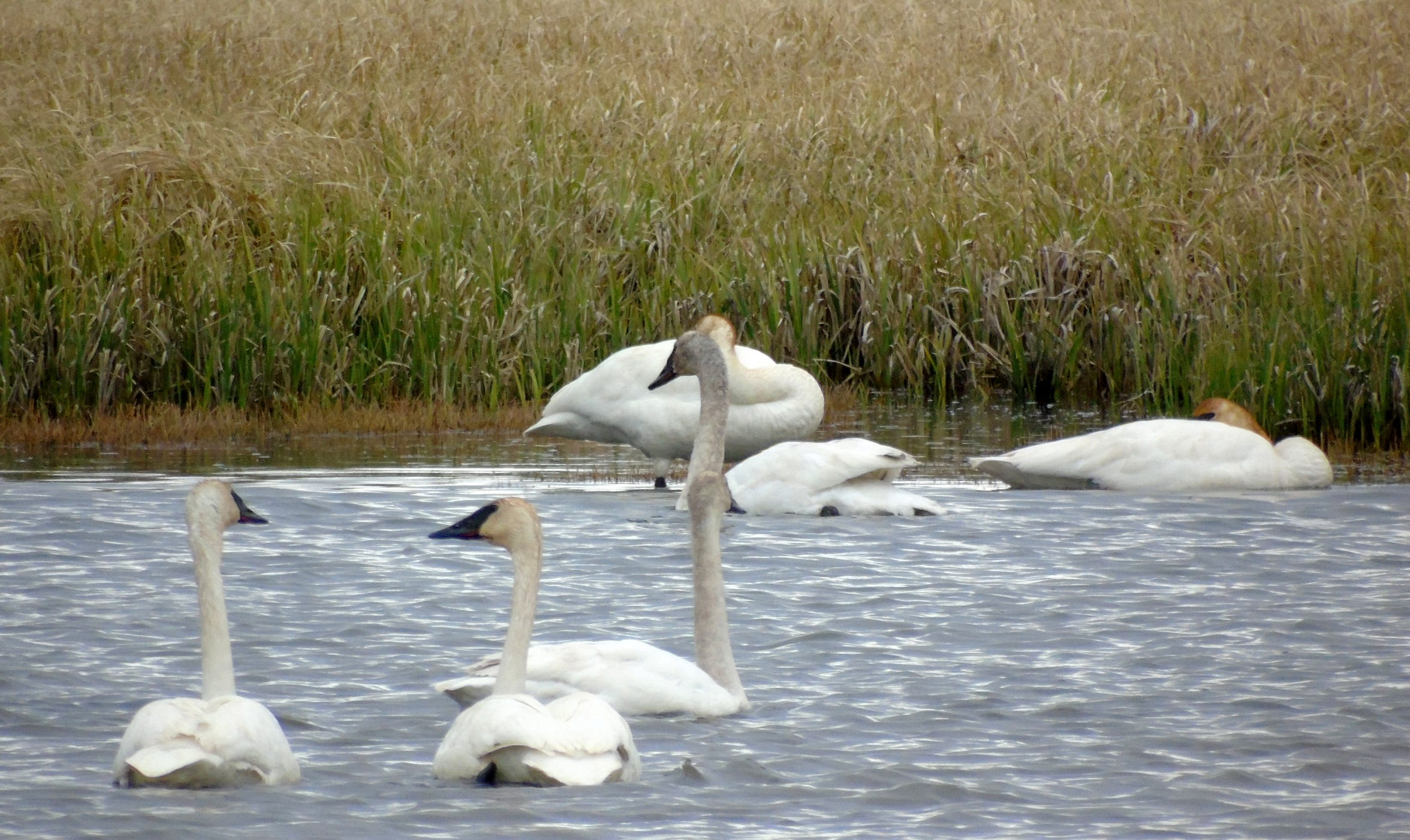 A herd of trumpeter swans gathers in the Red Rock Lakes National Wildlife Refuge in Montana's remote Centennial Valley. The male swans are cobs, the females are pens and the babies are cygnets.