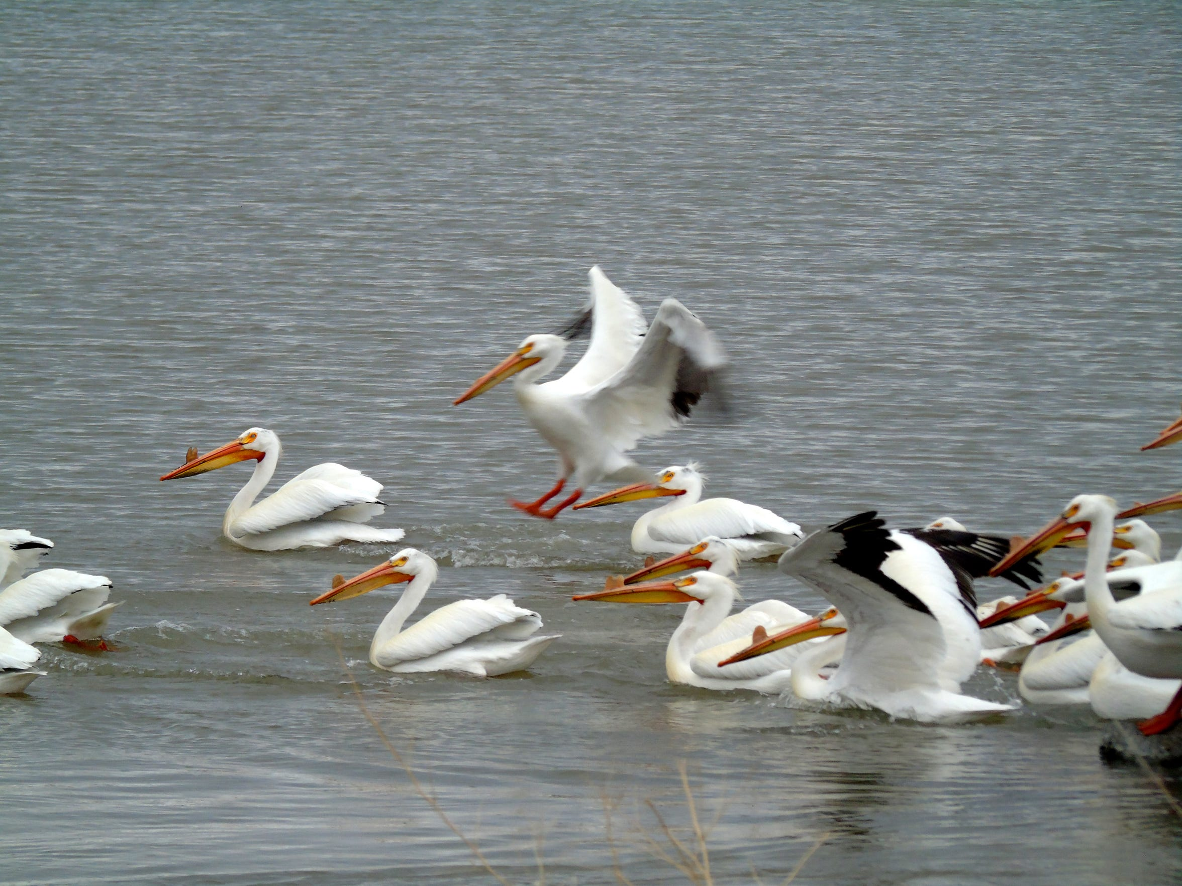 After a visitor arrives, pelicans spread out at Red Rock Lakes National Wildlife Refuge in Montana's remote, high Centennial Valley southeast of Dillon.