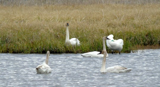 Trumpeter swans are North America's largest waterfowl, up to 4 feet tall, 30 pounds and a wingspan of 8 feet.