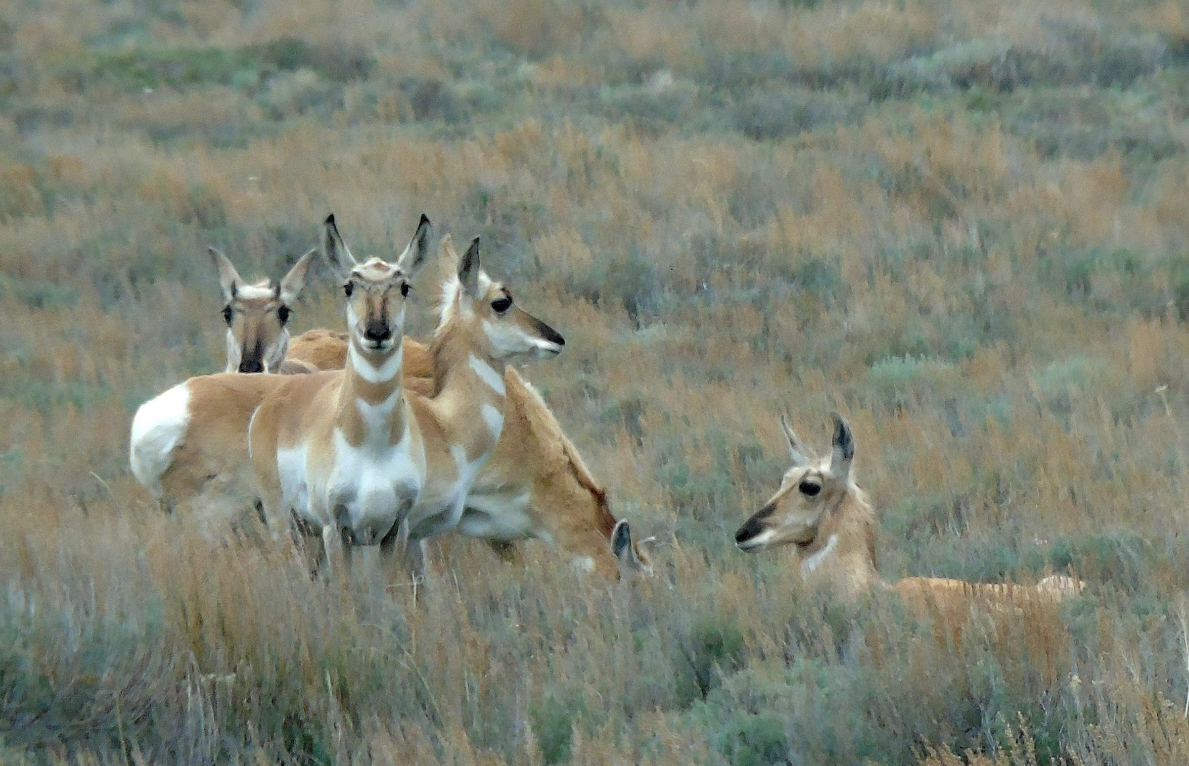 Antelope roam in Montana's remote Centennial Valley, an important wildlife corridor in the greater Yellowstone ecosystem.