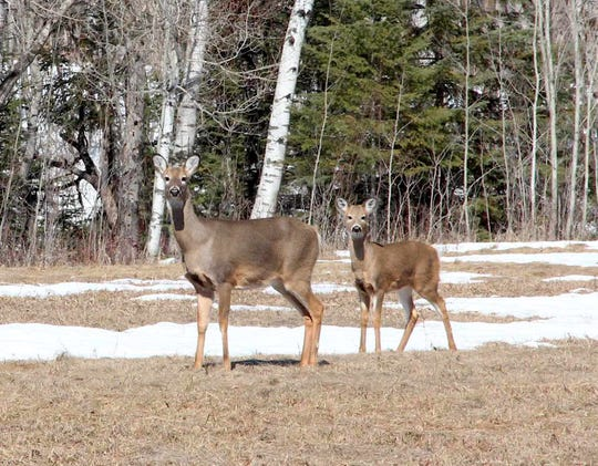A white-tailed deer doe and fawn stand in a Douglas County field in late March. For the first time in 10 years, all Wisconsin counties will have antlerless tags available for the 2019 hunting seasons.