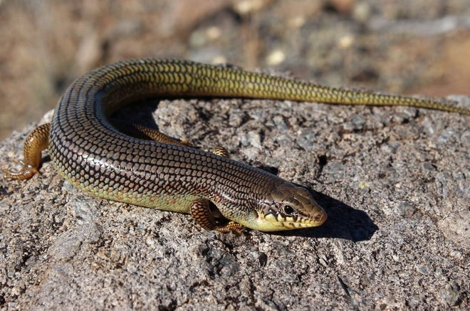 The Great Plains skink is the largest species of skink in the United States.