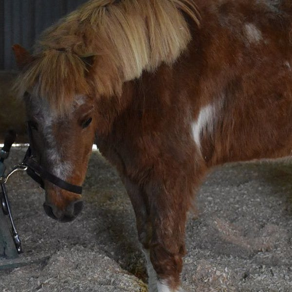 Neglected pony found with hooves sawed off in Brown County