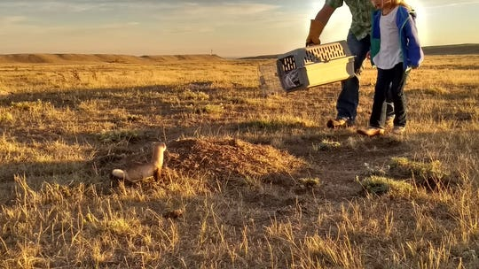 A black-footed ferret is released at Soapstone Prairie Natural Area north of Fort Collins.
