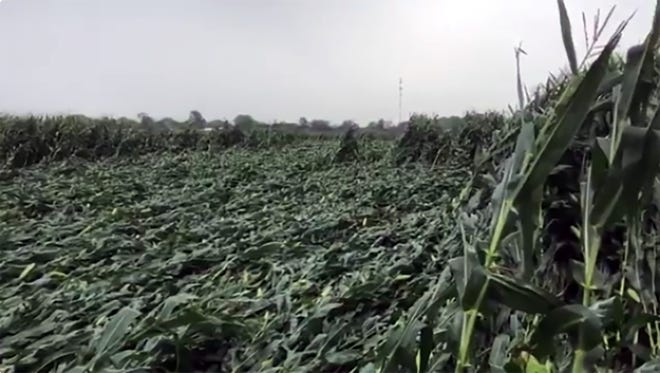 Swaths of flattened corn crops near Waupun, Wisconsin, following severe thunderstorms.