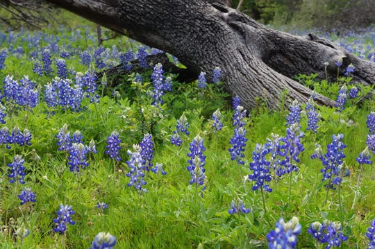 Bluebonnets, First Place and Best in Show