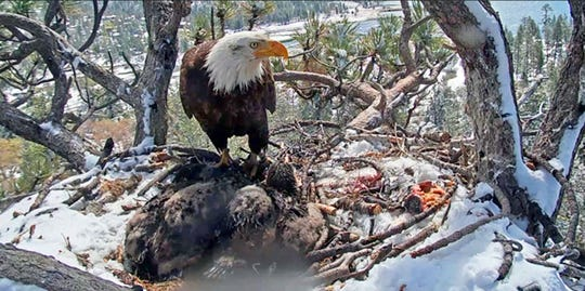 This Monday, May 20, 2019 file photo, of an image from a remote video camera provided by the Friends of Big Bear Valley, shows a bald eagle parent watching over its two chicks, on a nest covered with snow that fell overnight in the Angeles National Forest near Big Bear, Calif.