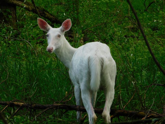 A pregnant albino deer was spotted at Kensington Metropark in early May. The doe is reported to have given birth to fawns.