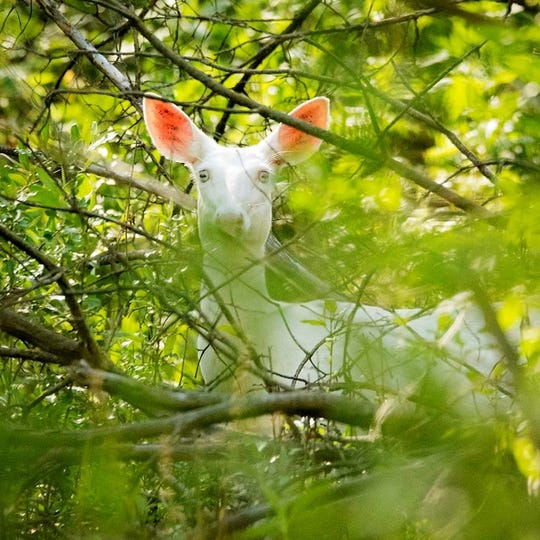 A white doe, possibly an albino, has been photographed on numerous occasions at Kensington Metropark in Milford and Brighton townships. It has given birth to fawns. It is not known if the fawns are albino or not.