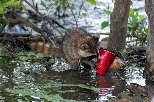 A raccoon in a local lake.