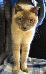 Mocha is available for adoption at N. 96th Ave. in Peoria. For more information, 623-773-2246 after 10 a.m.
