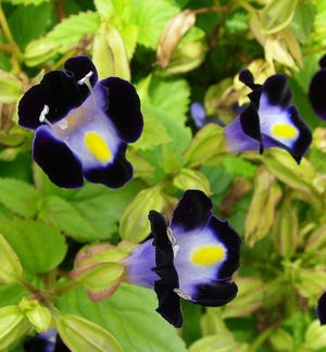 Often used as a bedding plant, clown flowers are short-lived perennials often used as annuals. Plant them in full sun, protect from chilly temperatures and the tidy plants will be covered with unusual flowers. Clown flower is very heat tolerant and will survive and bloom until late in the summer.