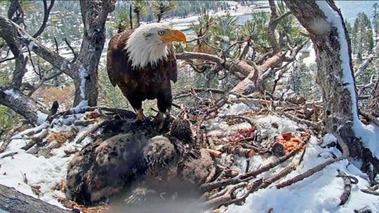 This May 20 photo from a remote video camera provided by the Friends of Big Bear Valley shows a bald eagle parent watching over its two chicks on a nest covered with snow near Big Bear. One of the chicks died.