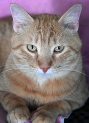 Sherman is a 4-year-old, male orange tabby cat. He has been neutered, vaccinated and microchipped. Sherman is friendly and likes attention. He is available for adoption at the Humane Society of Wichita County.