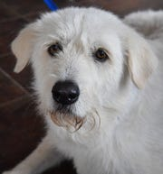River is a 2-year-old, white, female, Great Pyrenees. She has been vaccinate, spayed and microchipped. River is sweet, calm and available for adoption at the Humane Society of Wichita County.