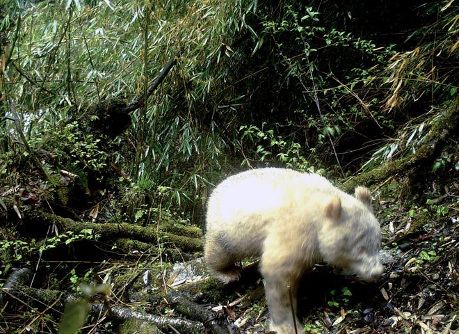 In this April 20, 2019, photo released by Wolong National Nature Reserve, an all white giant panda is captured by an infra-red triggered remote camera at the Wolong Nature Reserve in southwest China's Sichuan province.