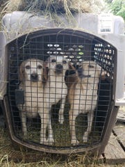 Aransas Pass Police Department and Animal Control seized 43 dogs from a home in Aransas Pass. Dogs were found crammed in small kennel. Moldy food, dirty water and soiled kennels were found.