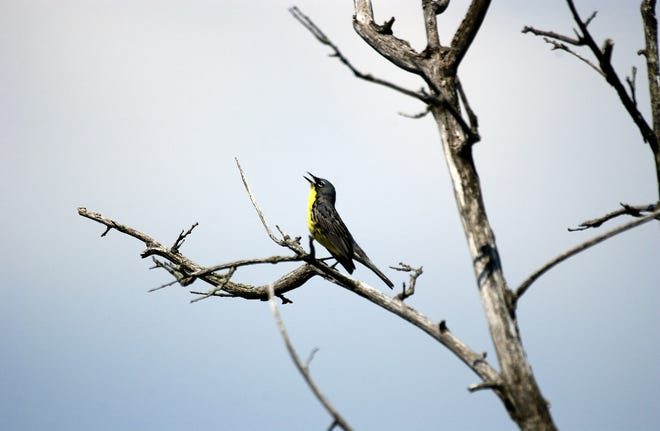 After a drop in the 1970s to just 167 nesting pairs remaining, the Kirtland warbler is making a comeback.