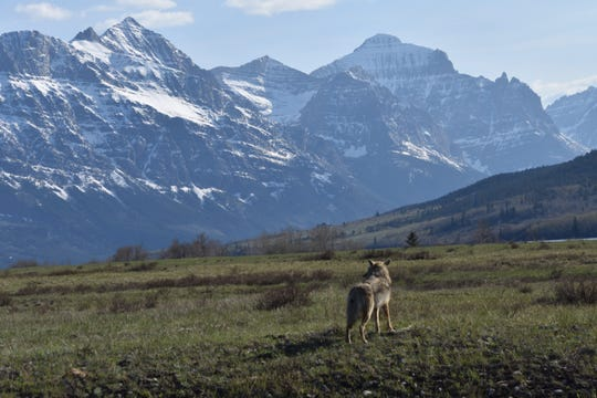 A coyote roams near St. Mary during the early season in Glacier National Park.