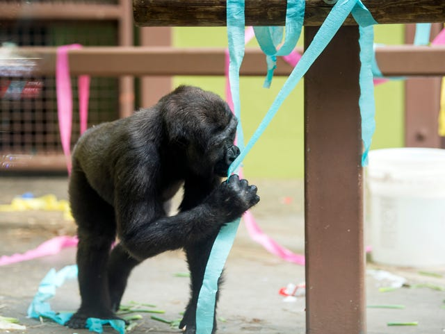Zoo Knoxville Gorillas Birthday Party Gets Wet Wild And
