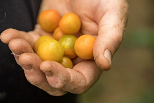 Sun Gold cherry tomatoes are grown at Whitton Farms.