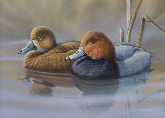 This acrylic painting of redhead ducks by Jon Rickaby took first place in the design contest for the 2019 Wisconsin waterfowl stamp.