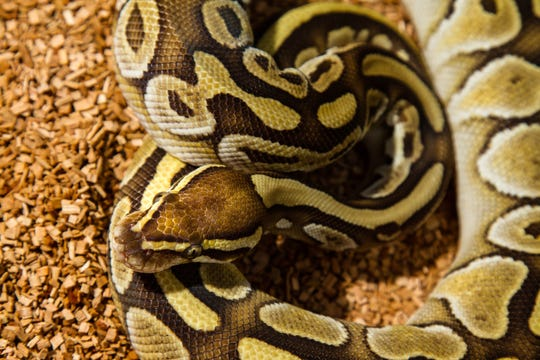 An example of a ball python snake.