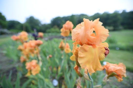 Close up of some irises at the Presby Memorial Iris Gardens
