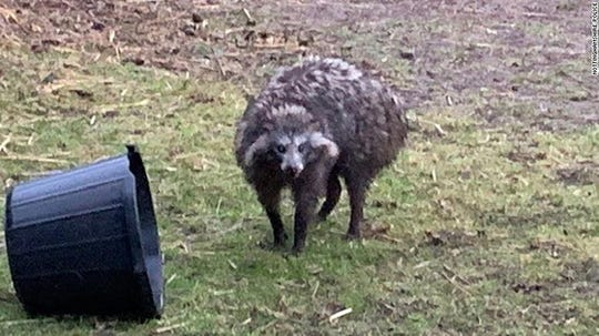 "Raccoon dogs are not the Frankenstein creation they appear to be. Commonly referred to as a ""tanuki"", a raccoon dog is part of the canid family."