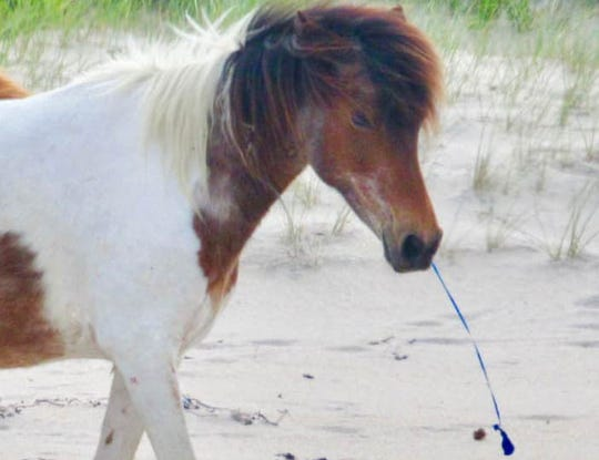 A pony was found on Assateague Monday with a balloon string in its mouth. National Park Service representatives say the animal is expected to be in good health following the incident.