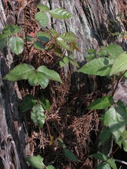 Girls Scouts learn to recognize the trifoliolate leaves of poison ivy.
