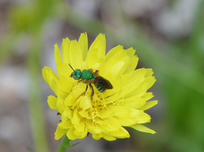 Adult sweat bees are frequently seen on blooms. Nectar is a major source of food for these mature insects, but they also have a need for human perspiration.