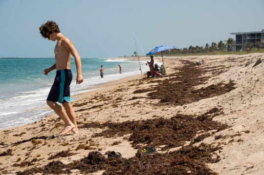 Sargassum is affecting anglers, but what about turtles?