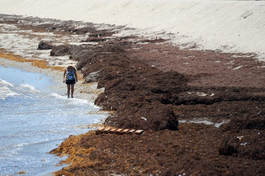 Mounds of sargassum seaweed choke the shoreline at Fort Pierce Beach on Wednesday, May 29, 2019, in Fort Pierce. The seaweed, originating out of the Sargasso Sea in the North Atlantic, can attract insects, crabs, sea lice while blocking sunlight from light-dependent organisms such as seagrass and corals.
