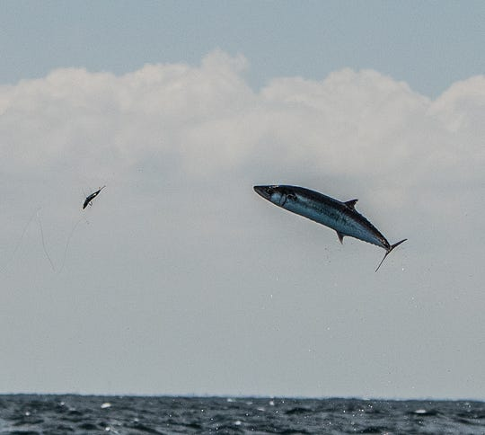 A king mackerel goes airborne while it attempts to eat a small bait fish deployed by DayMaker charters in Stuart.