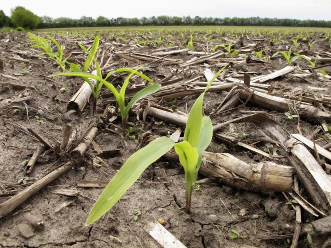 Recently sprouted corn plants grow in a field in Savoy, Ill., on May 16, 2016. A new study from the University of Illinois on the Illinois River has found lower levels of nitrates that wash off of farm fields in recent years.