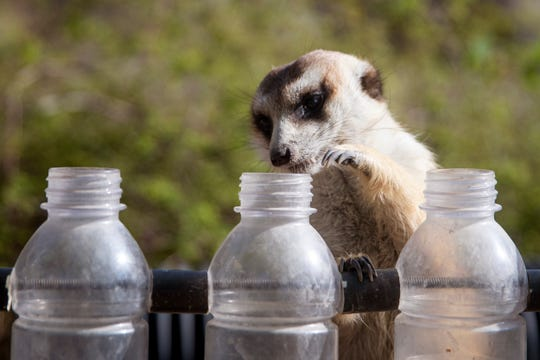 Louis, the meerkat, removes insects from plastic bottles as part of an enrichment activity at the Cincinnati Zoo and Botanical Garden in April. The activity helps the meerkats with their foraging skills.