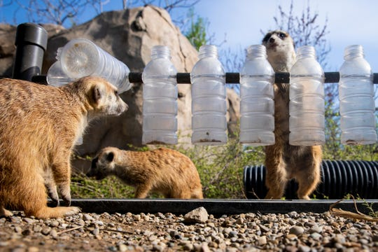 "Meerkats Shakira, Mark and Louis remove insects from plastic bottles as part of an enrichment activity at the Cincinnati Zoo and Botanical Garden Tuesday, April 16, 2019. Even though this doesn't look like something they would find in the wild, it mimics what they would do to find food. Senior Africa keeper Jenna Wingate said, ""It is a lot of mental stimulation for them."""