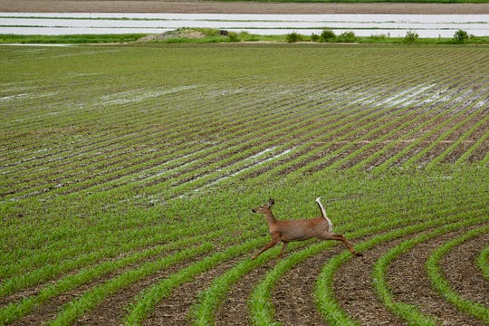 In this May 29, 2019 photo, a deer runs through a field which is partially flooded near Anderson, Iowa.