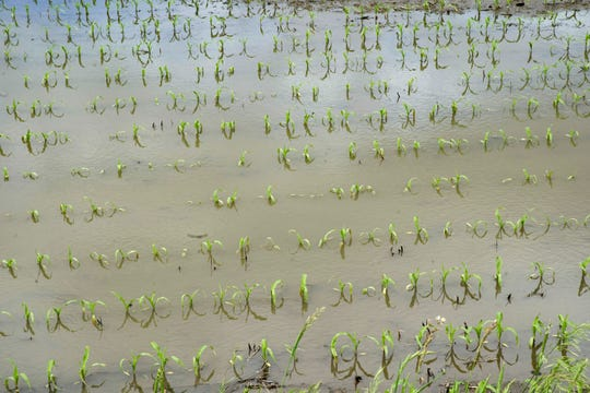 In this May 29, 2019 photo, corn is seen in a field flooded by waters from the Nishnabotna River near Anderson, Iowa. Thousands of Midwest farmers are trying to make decisions as they endure a spring like no other. It started with a continuation of poor prices for corn and soybeans that fell even further as tariffs imposed by the U.S. and China ratcheted higher. Next came flooding from melting snow followed by day after day of torrential rains that made planting impossible or flooded fields where plants were just starting to emerge. (AP Photo/Nati Harnik)