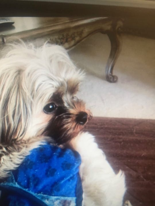 Hennessy, a 1-year-old, 5-pound, brown male Maltese/Yorkie mix, was taken on Wednesday, May 29, 2019, from Farmington Hills.