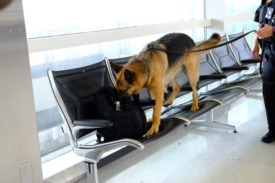 K-9 Johny, a three-year-old German Shepard, searches for possible explosives in an unattended bag in the lobby of Detroit Metro Airport McNamara Terminal.