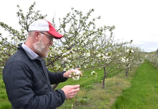 Cherry farmer Nels Veliquette checks a blossom for frost damage in a 350-acre tart cherry orchard north of Acme on May 24.