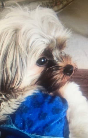 Hennessy, a 1-year-old Yorkie, was stolen Wednesday night while his owner took him for a walk.